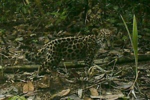 Camera captures rare photos of Jaguar and her cubs